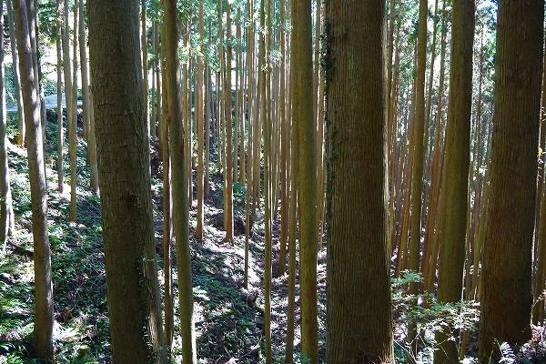 17.立派な杉木立を横目にてくてく.jpg