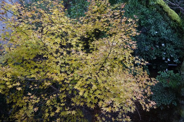 17.紅葉の木も.jpg