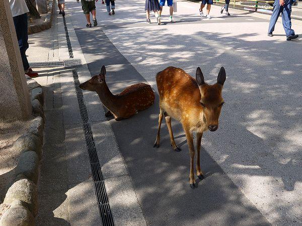 18.鹿もいるのです(2).jpg