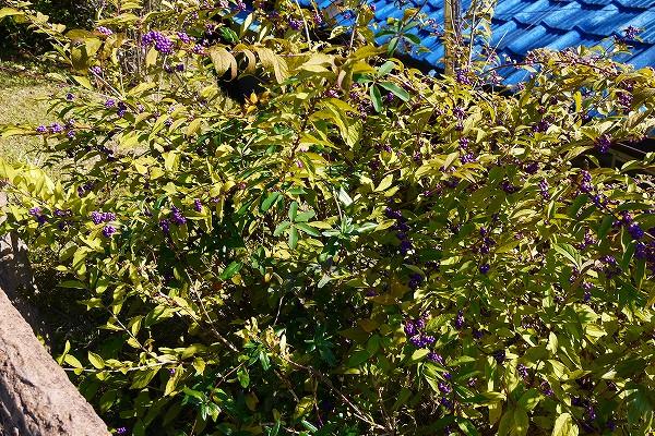 20.紫式部の木.jpg