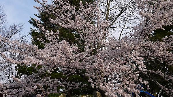 21.桜を眺めつつ.jpg