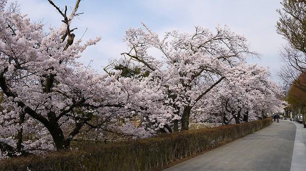 25.見事な桜を.jpg
