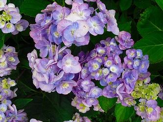 28.紫陽花-2.jpg