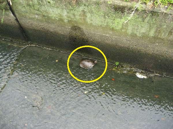 3.水路にカメ発見.jpg