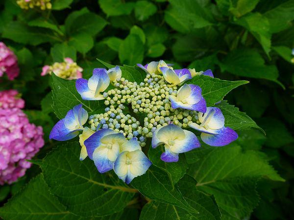 3.紫陽花(1).jpg