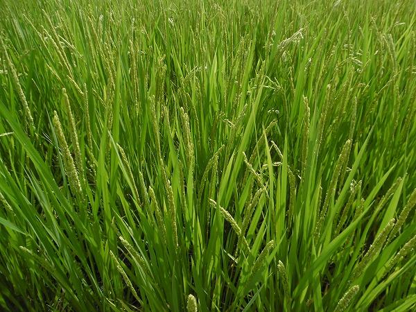5.2週間前に植えた稲.jpg