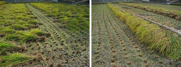 6.刈った稲を運んで・・・.jpg