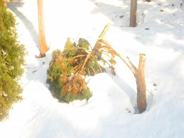 8.折れた樹木.jpg