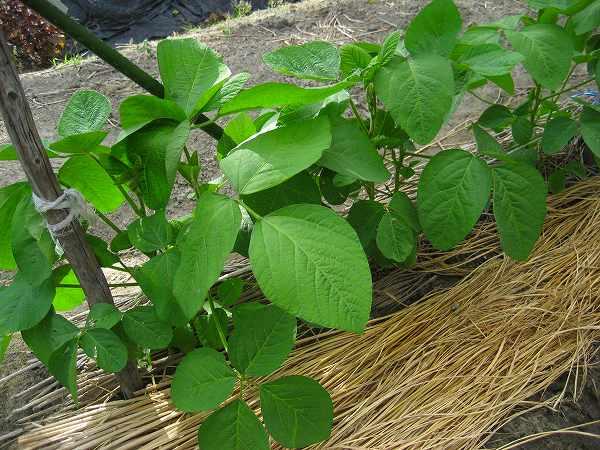 9.黒豆(1).jpg