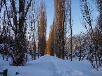 26.雪のポプラ並木.jpg