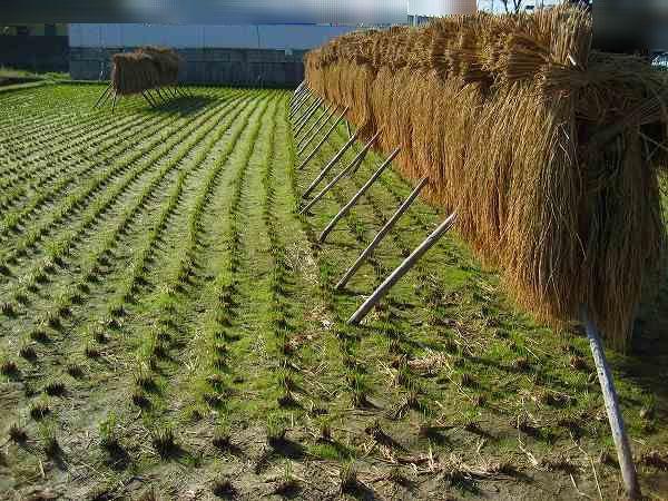 米作り(その27:稲扱きと臼挽き...