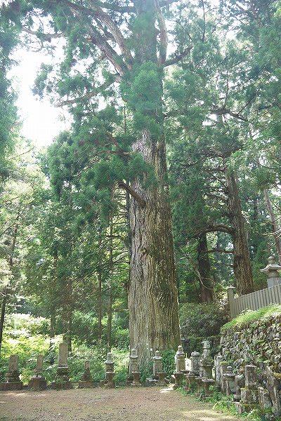 15.樹齢600~650年の杉.jpg