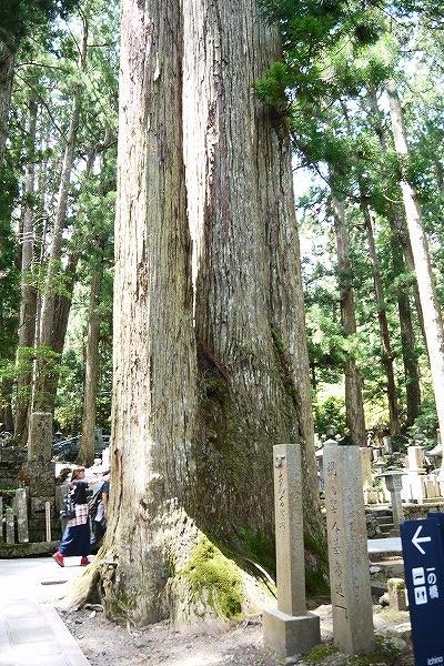 16.三つに分かれている杉.jpg