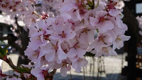 17.満開の桜.jpg