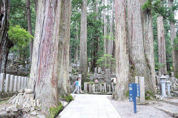 34.見事な杉の巨木.jpg