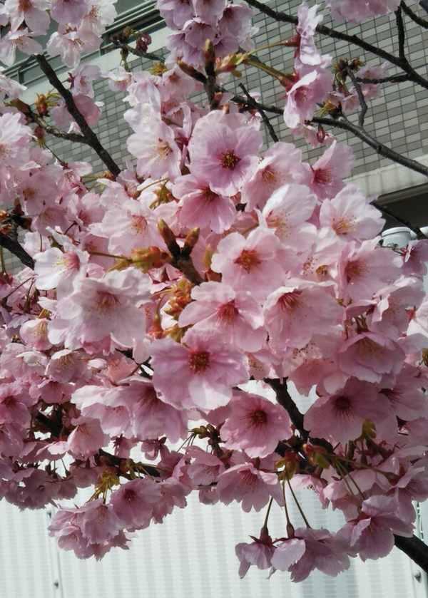 とある桜.jpg
